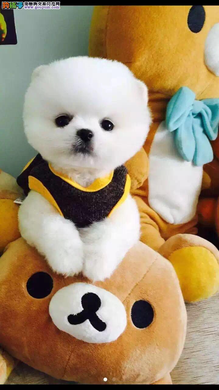 极品博美幼犬  实物拍摄  终身质保  可签协议