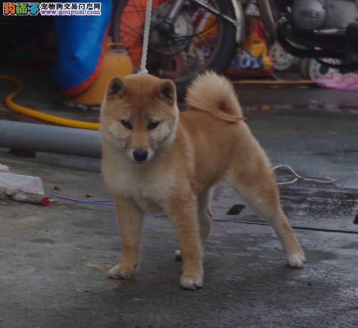 纯种日系柴犬 可视频看 疫苗驱虫均做齐