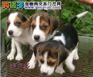 精品米格鲁比格犬,花色到位,纯种血统,可签订协议