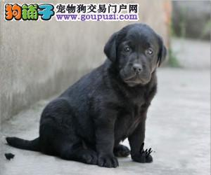 合肥专业狗场繁殖、纯种拉布拉多犬、签协议送狗狗用品