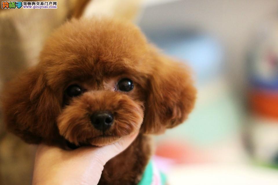 精品纯种茶杯犬出售质量三包微信咨询看狗