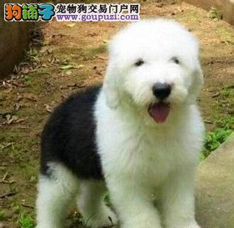 出售极品古代牧羊犬幼犬完美品相签订三包合同
