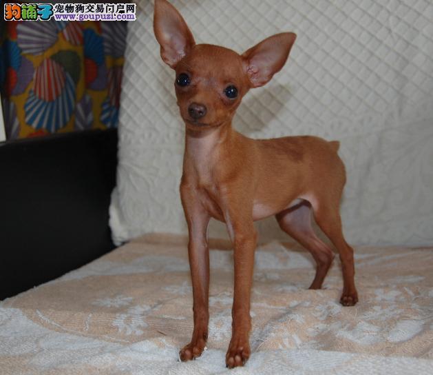 纯种鹿犬价格_超级可爱狗狗「小鹿犬」广西南宁超级可爱小