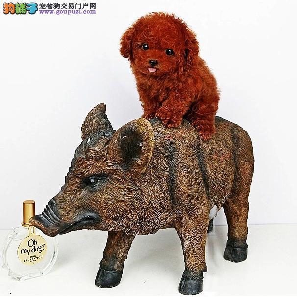 深圳哪里买狗 深圳哪里买纯种泰迪犬 找广东南官狗场