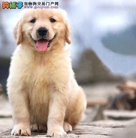 深圳哪里买狗 深圳哪里买纯种大骨金毛 找广东南官狗场