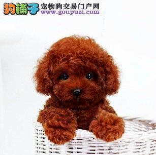深圳哪里买狗 深圳哪里买纯种茶杯犬 找广东南官狗场
