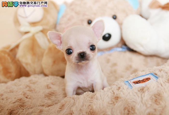 深圳哪里买狗 深圳哪里买纯种吉娃娃 找广东南官狗场