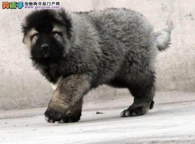 精品大骨量巨型高加索护卫犬 纯系熊版 可签订活体协议