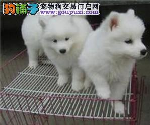 成都犬业协会推荐_福缘犬业_高品质直销_银狐犬