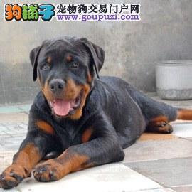 上海纯种罗威那犬哪里有卖 上海罗威那价格多少