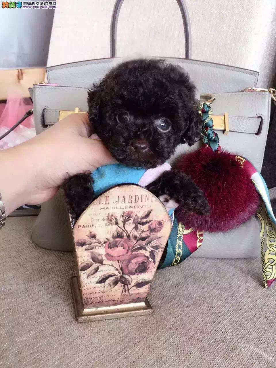 繁殖基地出售多种颜色的茶杯犬狗贩子请绕行