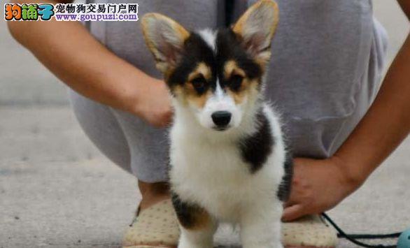 精品纯种柯基犬,威尔士纯种柯基幼犬,常年专业养殖