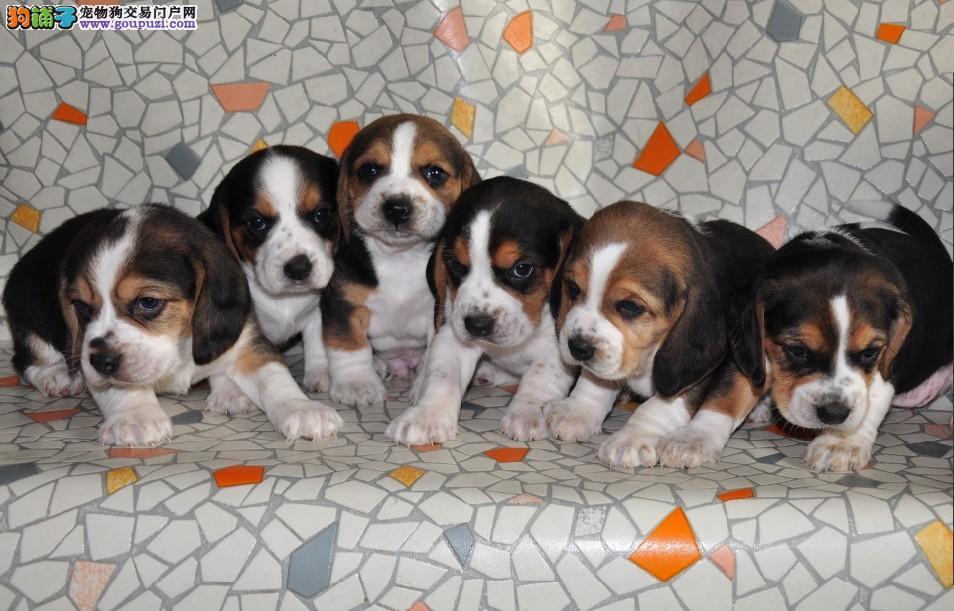 呆萌比格犬 家庭伴侣 欢迎爱狗人士