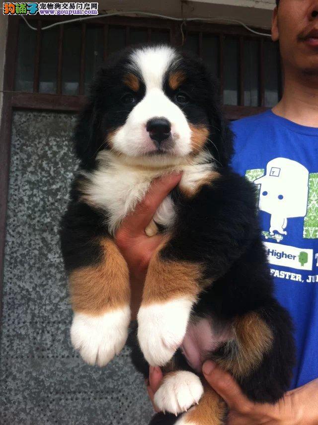 瑞士伯恩山犬,大型陪伴犬,温顺热情,全国包邮可视频