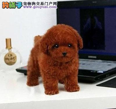 广州哪买茶杯犬好 广州一只纯种茶杯犬大概多少钱
