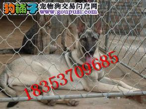狼青犬幼犬,新版狼青犬,狼青犬多少钱一只