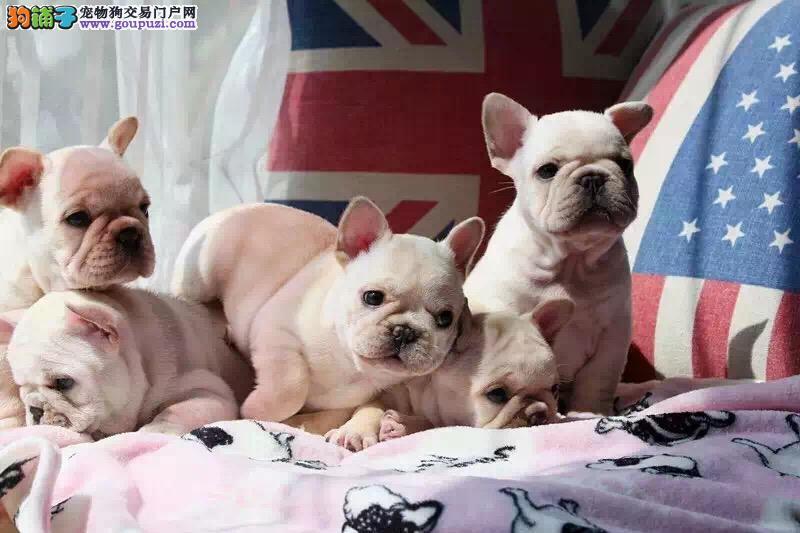 乌鲁木齐出售法国斗牛犬公母都有品质一流期待您的光临