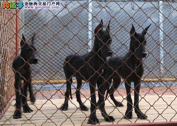 专业正规犬舍热卖优秀的乌鲁木齐大丹犬终身售后协议