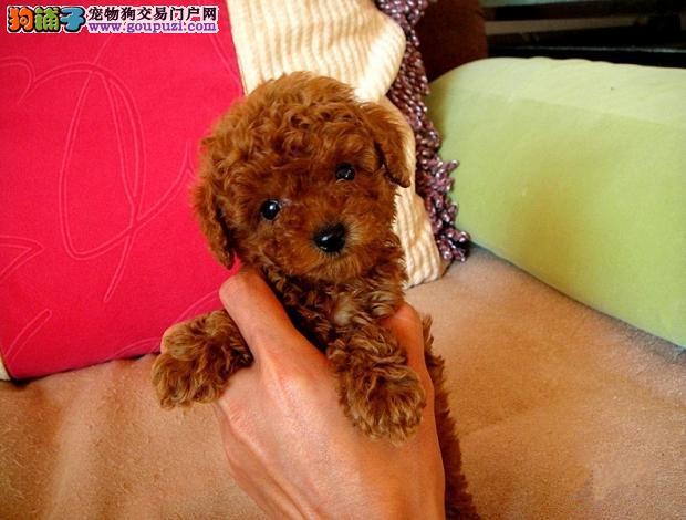 家养赛级茶杯犬宝宝品质纯正国外引进假一赔百