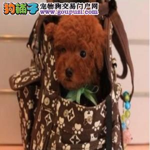 重庆最大的泰迪犬基地出售超萌韩系小体泰迪 完美售后