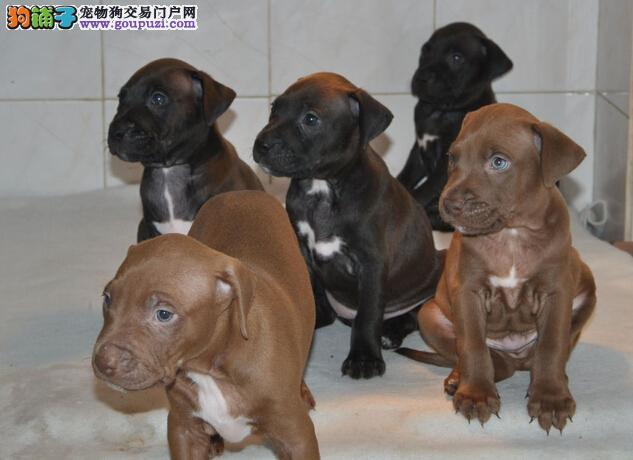 出售纯种比特 比特幼犬 保纯种健康带有血统证