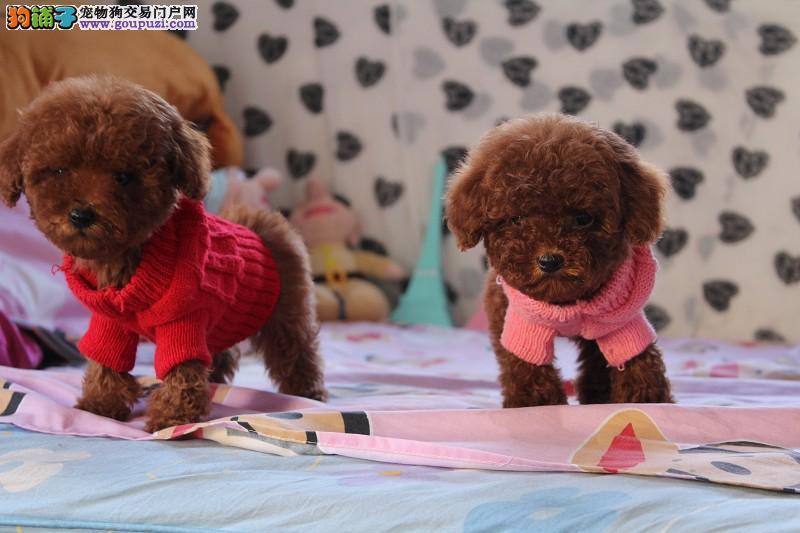 正规犬舍繁殖 赛级品质 泰迪熊幼犬 包活 可刷卡