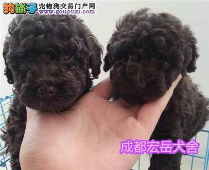 专业繁育型犬舍自产自销,出售泰迪幼犬宝宝
