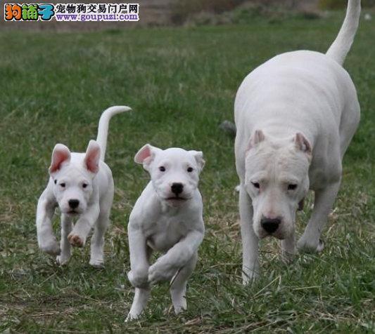 纯种杜高犬公母幼犬都有,保血统纯正健康纯种