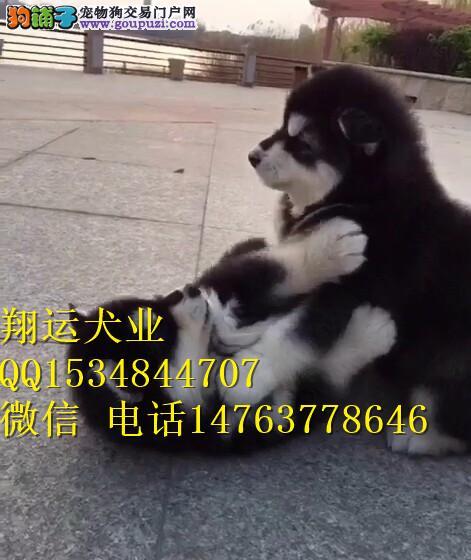 阿拉斯加幼犬多少钱一只?最低价格