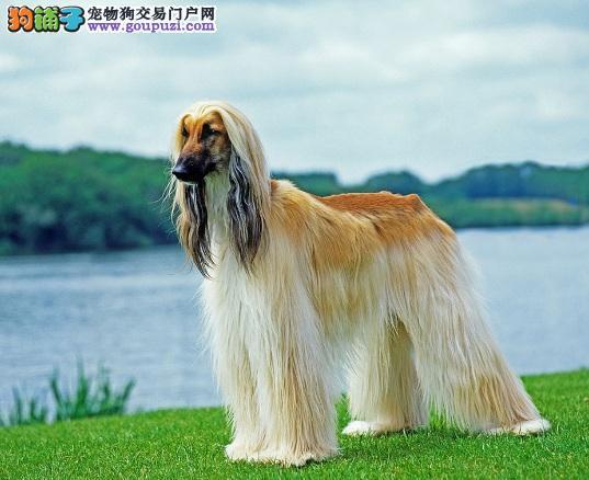 上海国外引进纯种阿富汗猎犬出售 阿富汗幼犬高大霸气