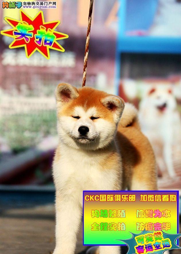 日系秋田犬,血统纯正,实狗拍摄,加微信即可视频看狗