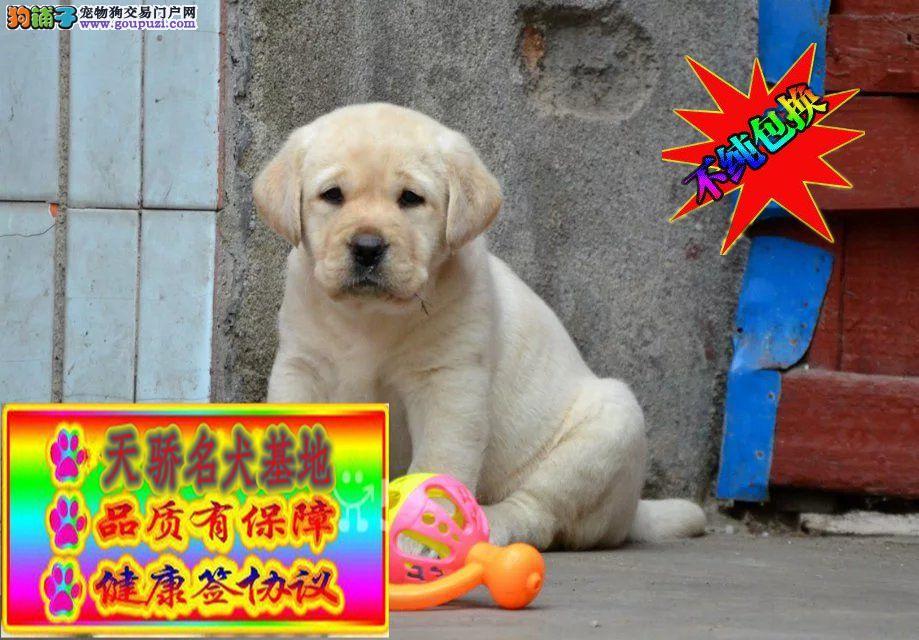 出售纯种健康专业狗场繁殖 签协议 可送货上门一拉拉