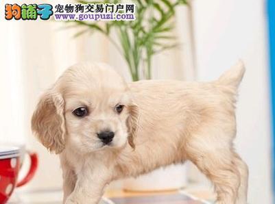 南京经典家养的可卡幼犬出售 棕色大耳朵的公母自己选