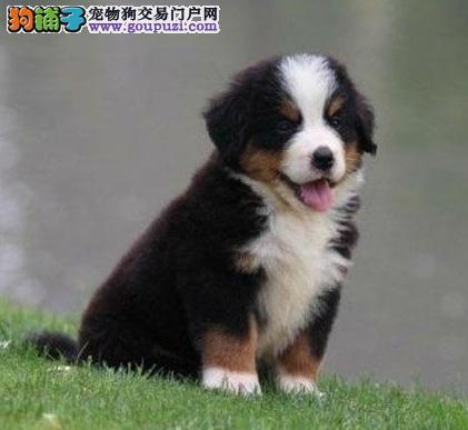 天水强壮有力 性格温顺 忠实的伴侣犬伯恩山宝宝出售