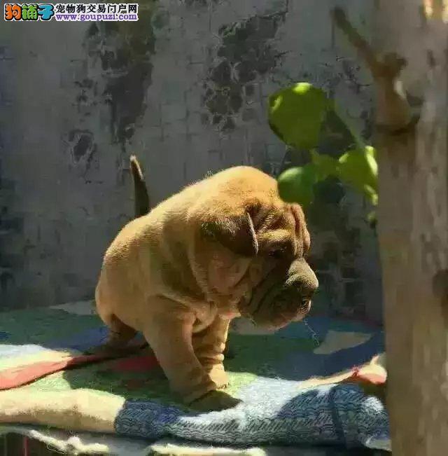 纯种沙皮、沙皮犬保证纯种健康 终身质保、饲养指导