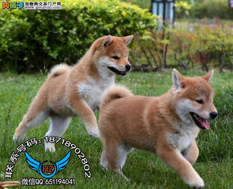广州犬舍繁殖纯种健康宠物狗名犬 赛级日本柴犬