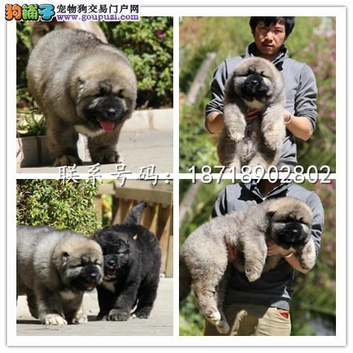 广州犬舍繁殖纯种健康宠物狗名犬 赛级高加索大型犬