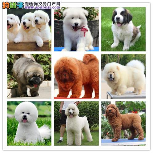 广州犬舍繁殖纯种健康宠物狗名犬 赛级松狮犬