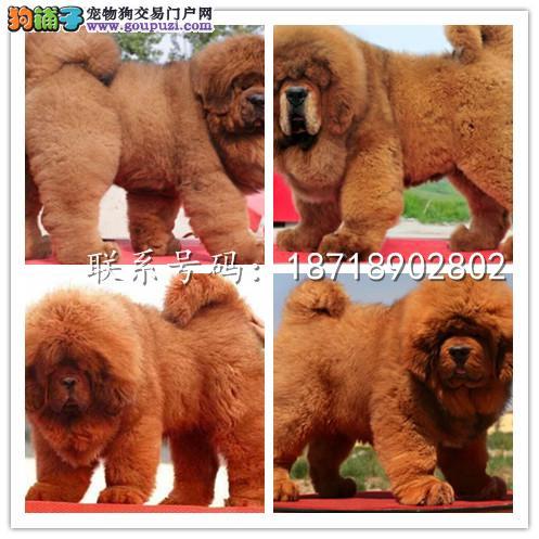 广州犬舍繁殖纯种健康宠物狗名犬 赛级藏獒大型犬