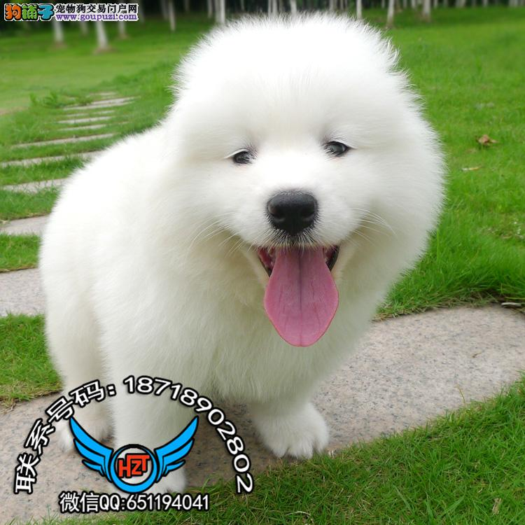 广州犬舍繁殖纯种健康宠物狗名犬 赛级萨摩耶犬