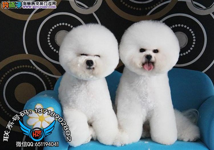 广州犬舍繁殖纯种健康宠物狗名犬 比熊犬 赛级比熊犬