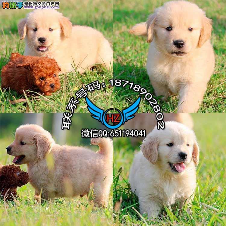 广州犬舍繁殖纯种健康宠物狗名犬 赛级金毛大型犬