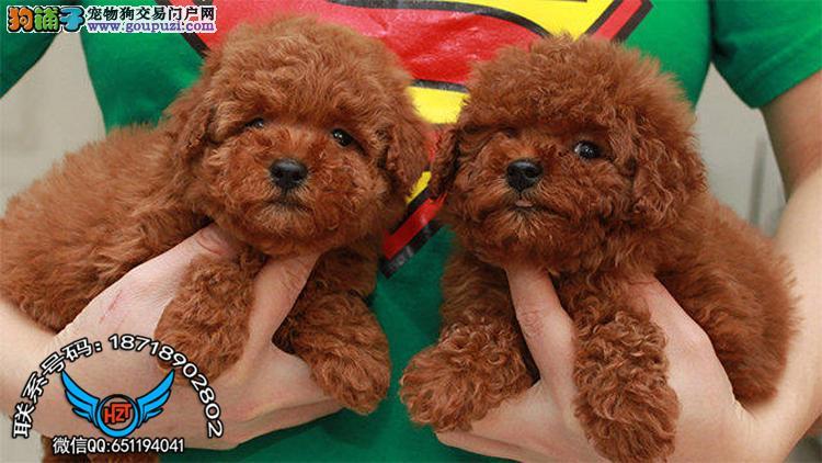 广州犬舍繁殖纯种健康宠物狗名犬 泰迪犬 赛级泰迪犬