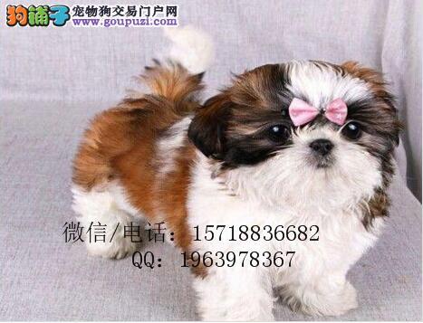 纯种西施犬 正规犬舍专业繁殖 疫苗齐全