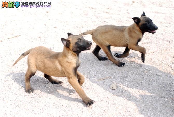 黑脸红毛黑毛马犬,会上树的捕猎看家能手。感兴趣联系
