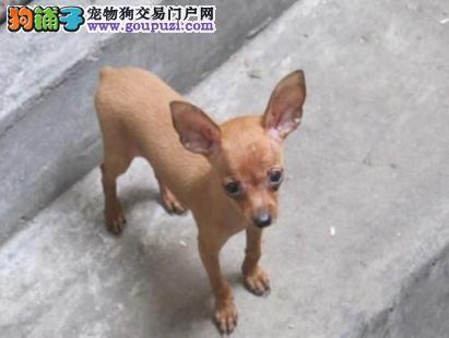 犬舍诚信出售 高品质纯种健康 各类宠物狗
