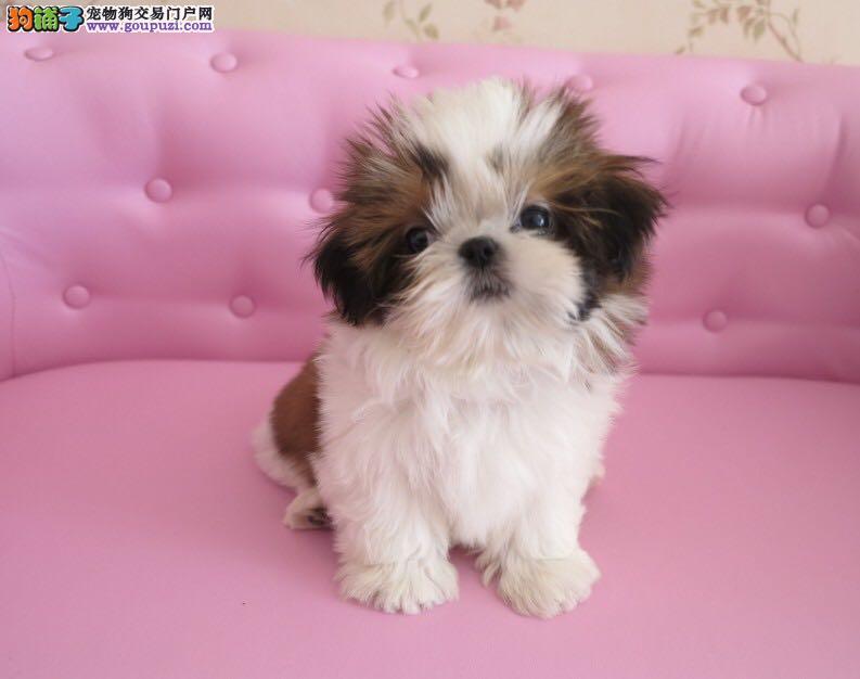 基地直销精品纯种西施幼犬多条可选可签订购犬协议