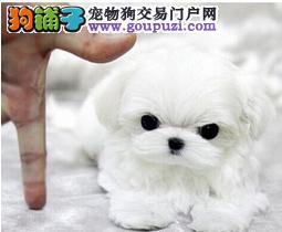 南京马尔济斯犬出售 哪里出售马尔济斯犬 多少钱一只