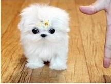 大型专业培育马尔济斯幼犬包健康终身售后送货