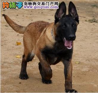广东自家繁殖的纯种马犬找主人送用品送狗粮